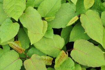 Japanese Knotweed Foliage
